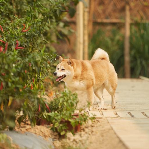 小O 狗 犬 向往的生活 宠物 可爱