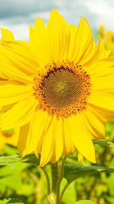 向日葵 葵花 鮮花 好盤