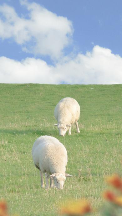 绵羊 草坪 畜牧 牲畜 可爱