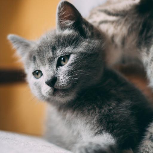 宠物 猫咪 蓝猫 幼崽