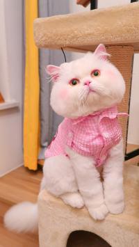 球球 网红猫咪 喵星人 宠物 可爱 粉