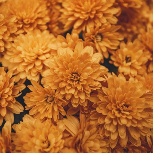 菊花 鮮花 盛開 黃色 花瓣