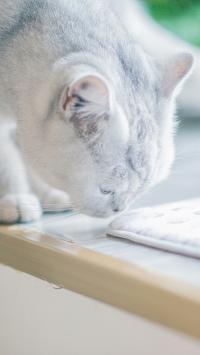 猫咪 宠物 渐层 皮毛