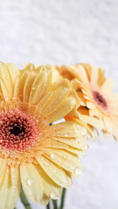 鲜花 菊花 花朵 盛开 水珠