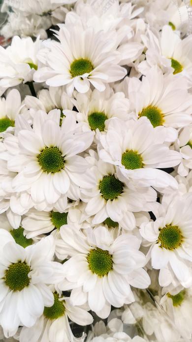 鮮花 菊花 花束 盛開