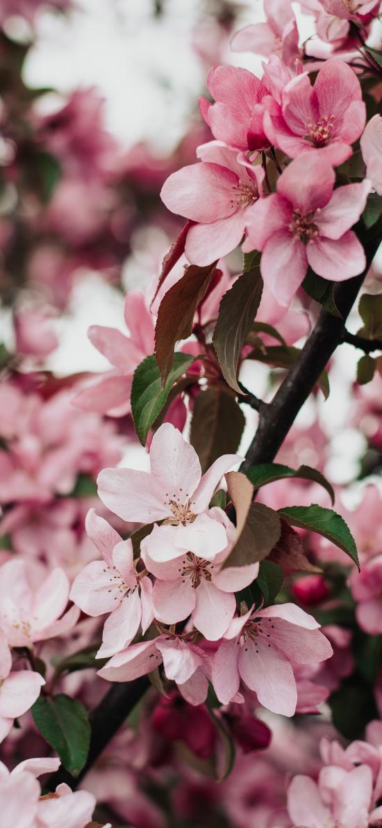 鮮花 海棠花 粉色 浪漫