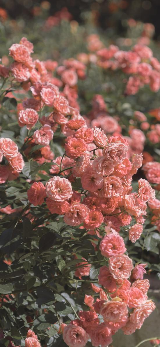 鮮花 盛開 紅色 枝葉 花叢