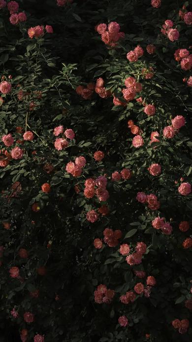 薔薇 鮮花 玫瑰 花墻 葉子 盛開