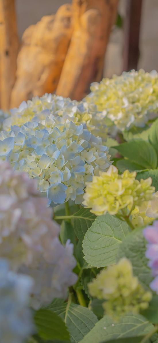 繡球花 鮮花 盛開 花藝 葉子