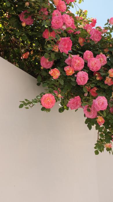 植株 鮮花 薔薇 粉色