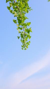 樹木 銀杏 樹葉 天空