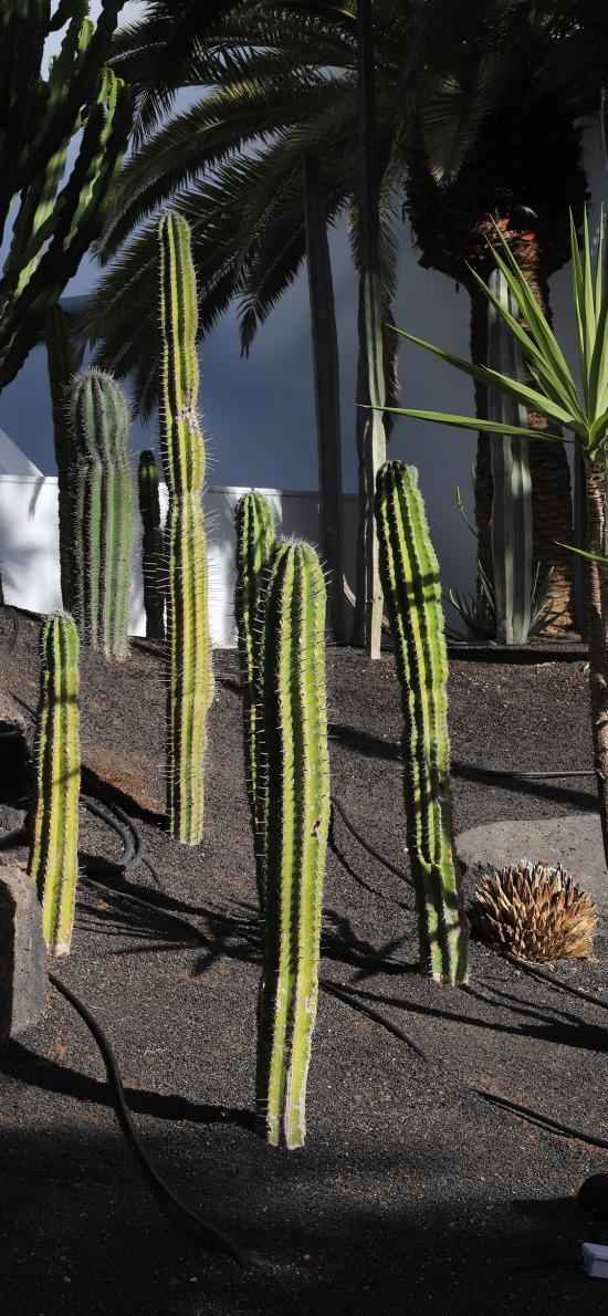 植株 仙人掌 沙漠之花
