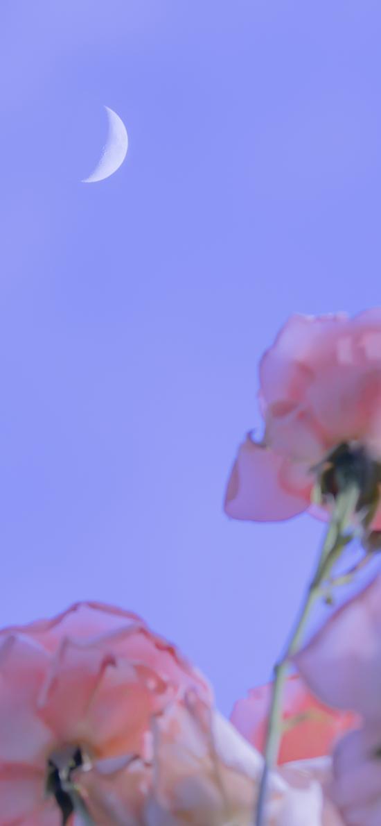 月亮 鮮花 夜晚 紫色 夜空