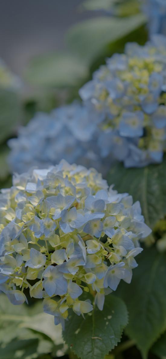 紫陽花 繡球花 鮮花 盛開 葉子