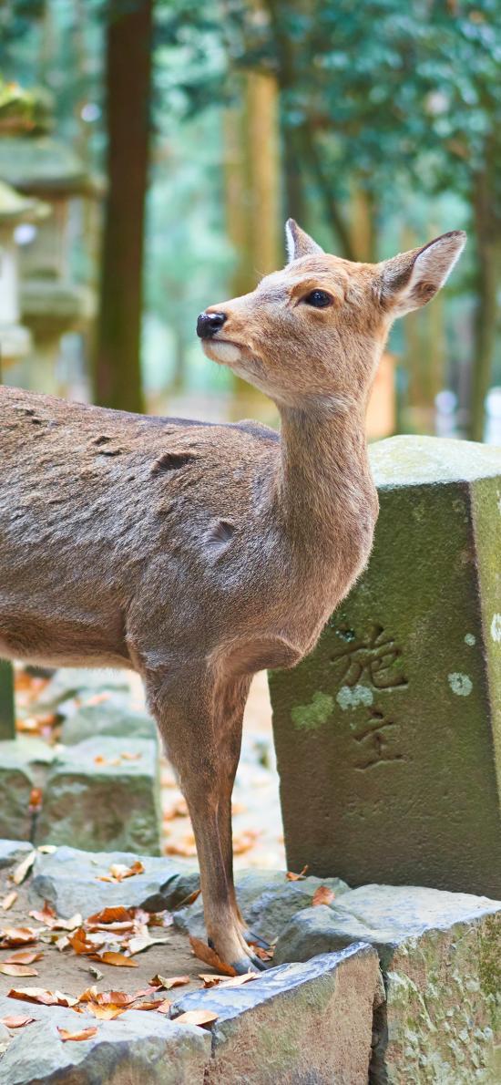 鹿 日本 養殖 畜牧 臺階