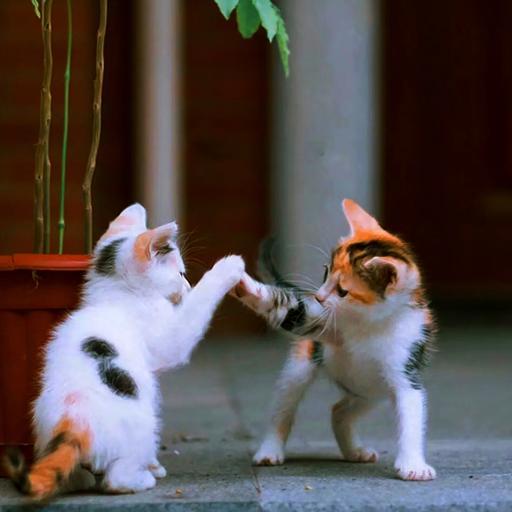 貓咪 可愛 小貓 幼仔 打鬧 花貓