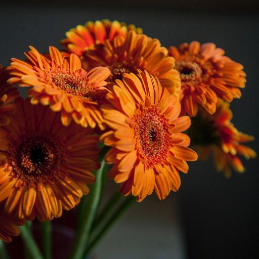菊花 鮮花 非洲菊 花束