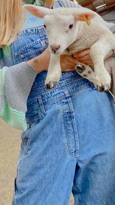 小羊 牲畜 畜牧 牛仔 可愛