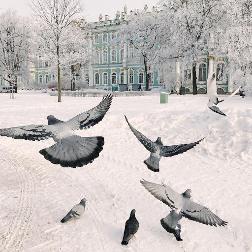 鴿子 翅膀 飛翔 雪地 冬季