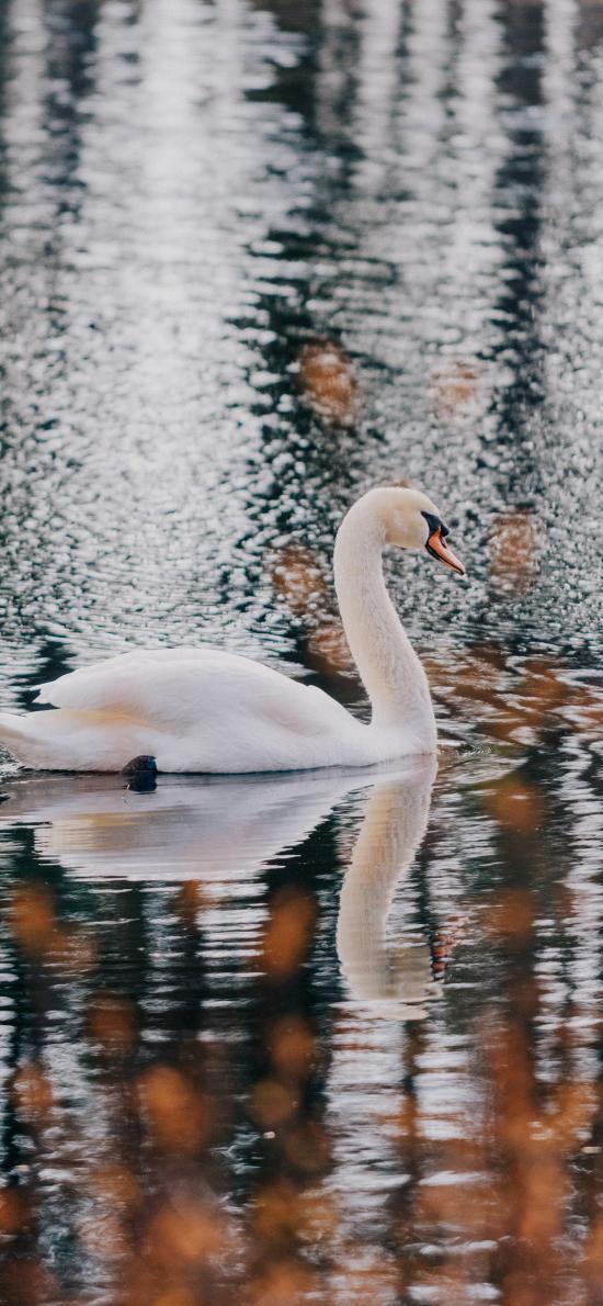 天鵝 水面 湖面 游動 水禽