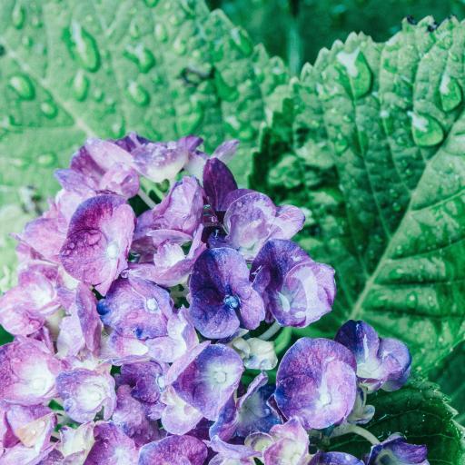 绣球花 枝叶 水珠  鲜花