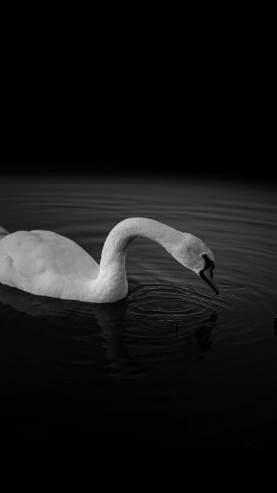 天鹅 黑色 湖水 浮游