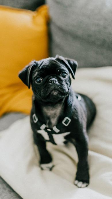 巴哥 地毯 宠物 黑狗