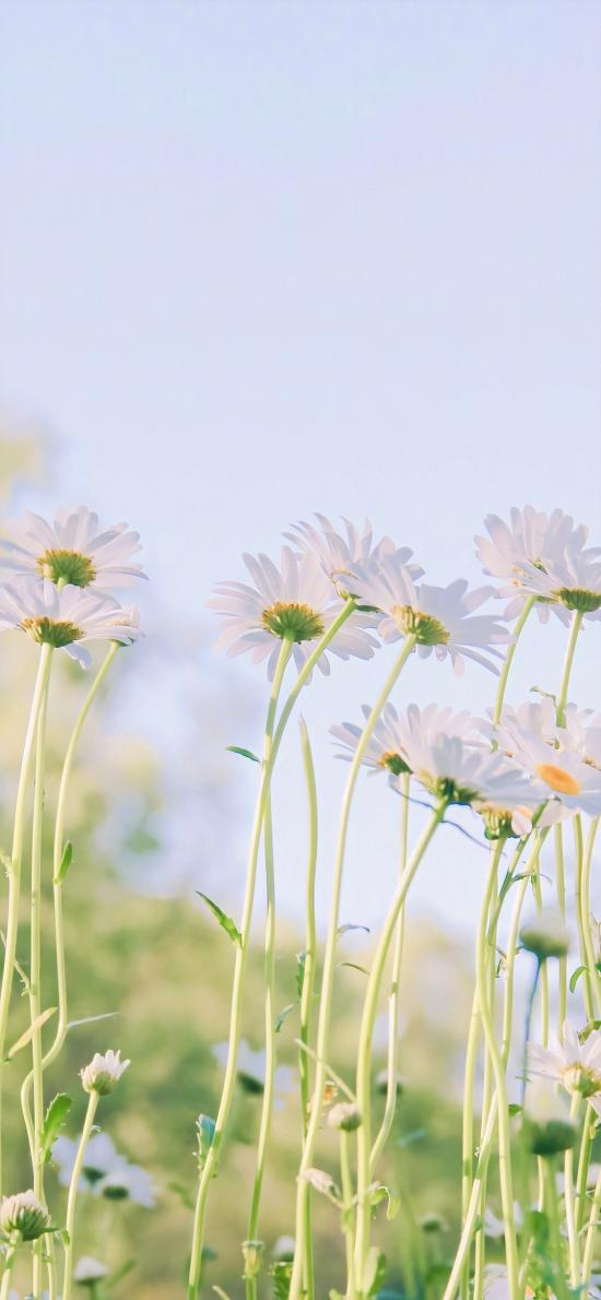 菊花 鲜花 枝叶 盛开 小清新