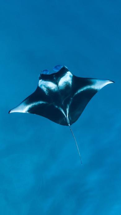 魔鬼鱼 海洋生物 蓝色 海底