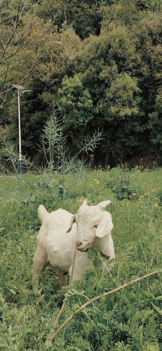 小羊 山羊 草叢 畜牧 牲畜