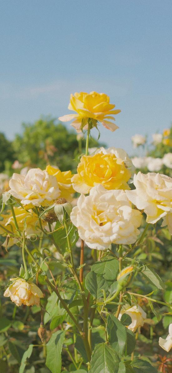 植株 玫瑰 白色 黄色