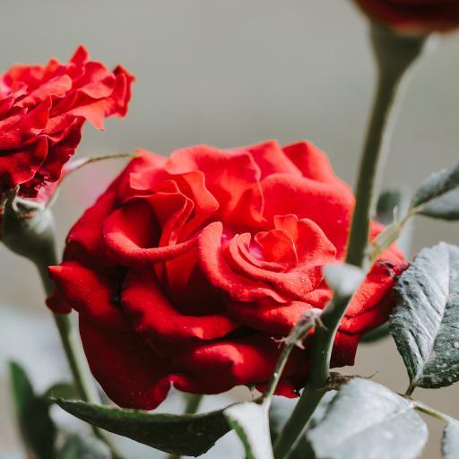 玫瑰 鲜花 花枝 枝叶