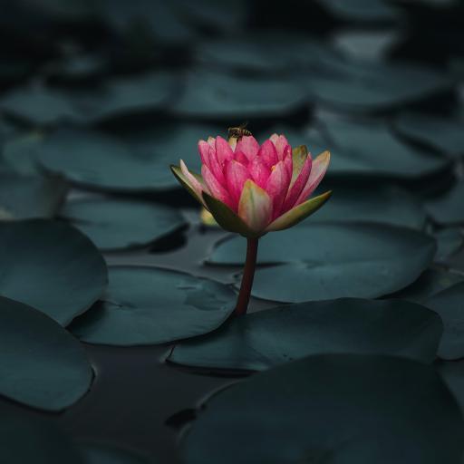 池塘 荷叶 睡莲 红色