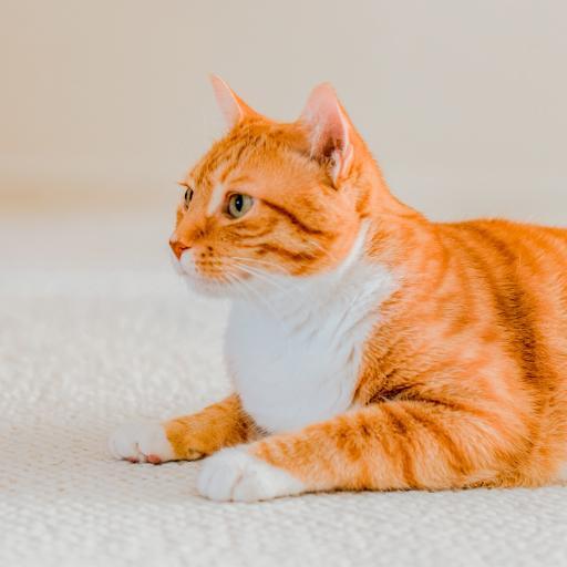 橘猫 宠物 肥猫 肥胖