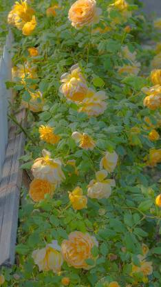 蔷薇 玫瑰 鲜花 盛开 枝叶 花丛