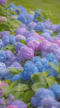 紫阳花 鲜花 绣球花 盛开 花丛