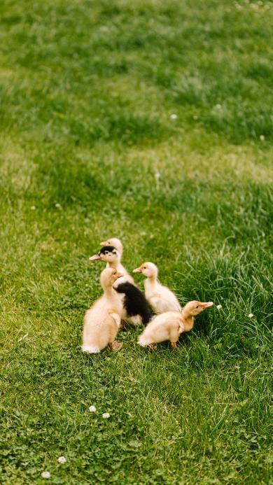 鸭子 幼崽 草坪 家禽