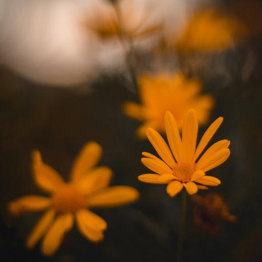 鲜花 菊花 黄色 清新