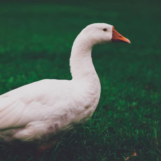 鸭子 草坪 牲畜 羽毛 家禽