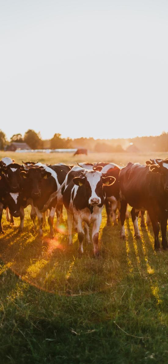 草原 牲畜 飼養 奶牛