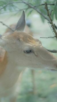 梅花鹿 牲畜 畜牧 森系