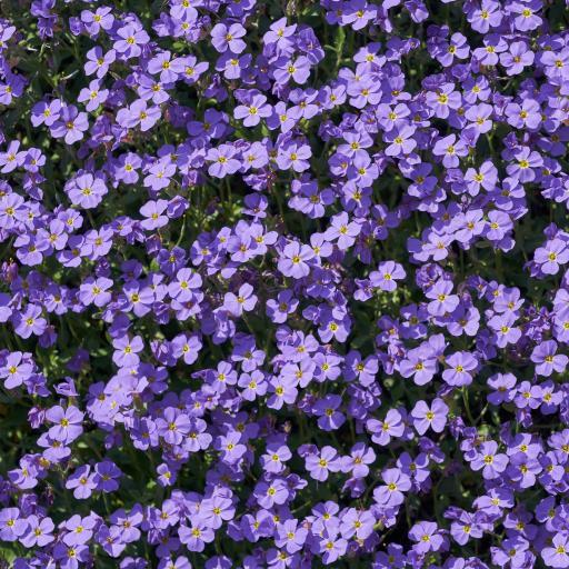 鲜花 盛开 小花 花丛 紫色
