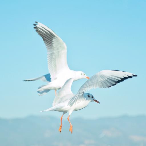 海鸥 鸟 大海 翅膀 飞翔