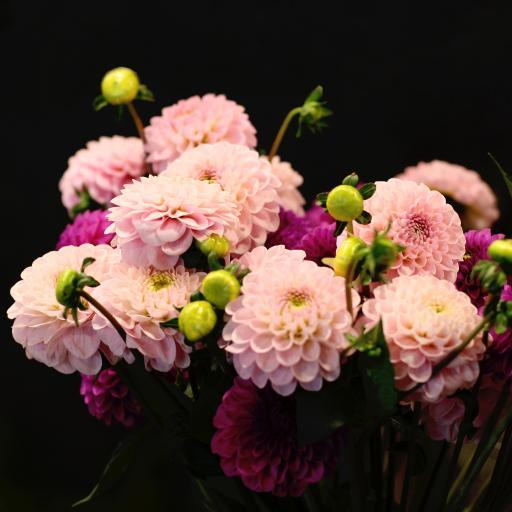鲜花 大丽花 粉色 鲜艳