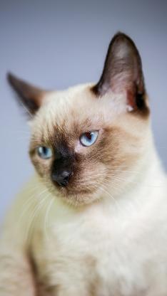 宠物 猫咪 品种 暹罗