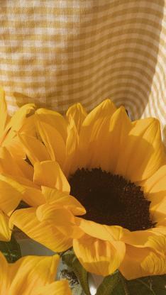 向日葵 鲜花 盛开 黄色 格子