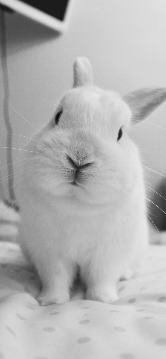 兔子 黑白 可愛 萌 寵物