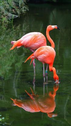 湖水 火烈鸟 群居 羽毛 脚环