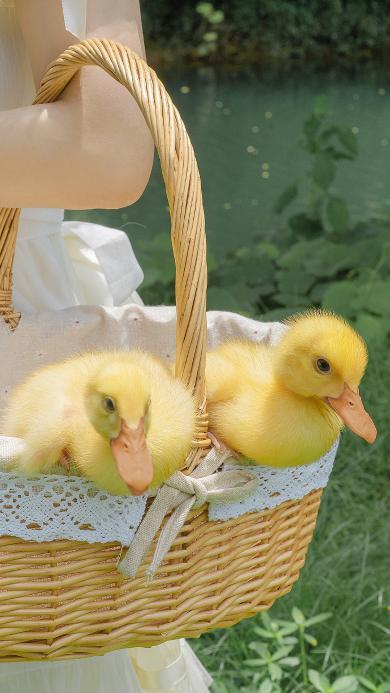 小鸭子 竹篮 牲畜 家禽 宠物 可爱