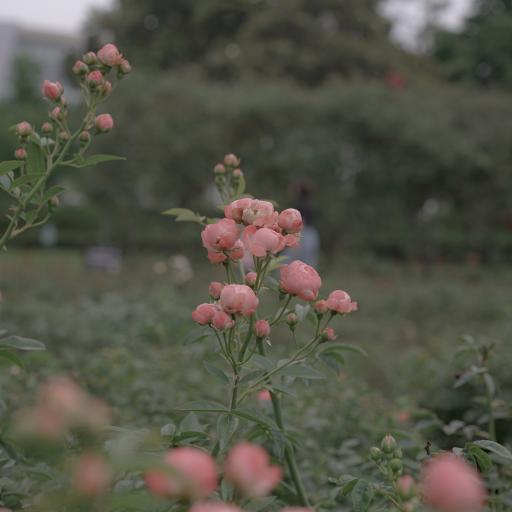 鲜花 枝叶 盛开 花朵 蔷薇